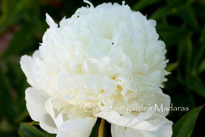Paeonia 'Charle's White', Pavasaris