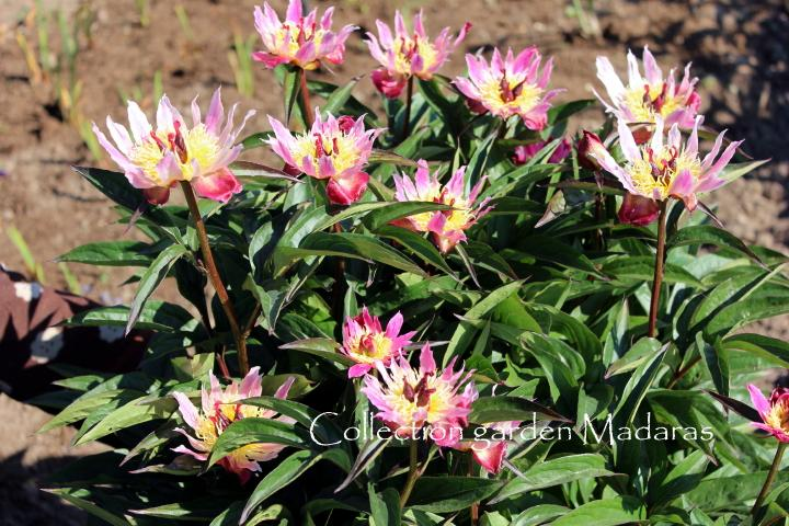 Paeonia 'Daisy Coronet' Pavasaris