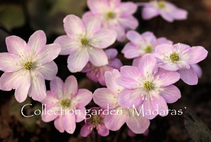 Hepatica nobilis `Pigments`